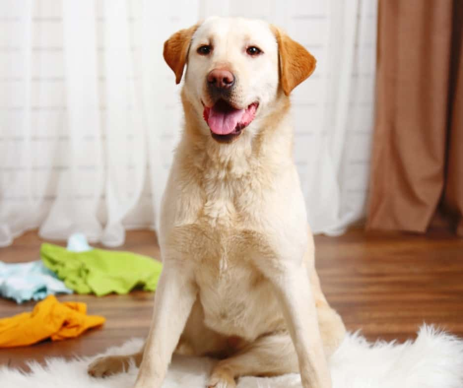 yellow lab sitting on white rug